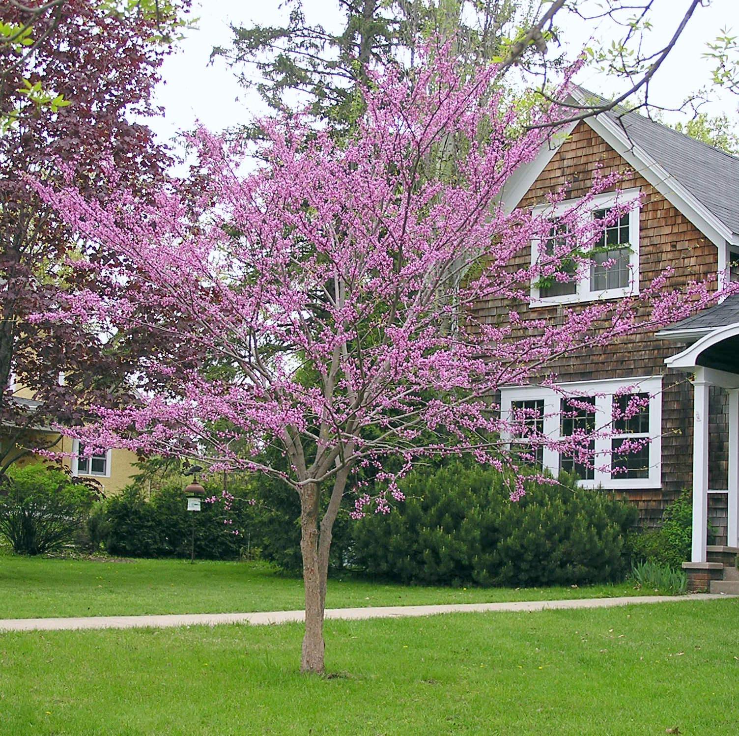 Redbud Tree Landscape Design