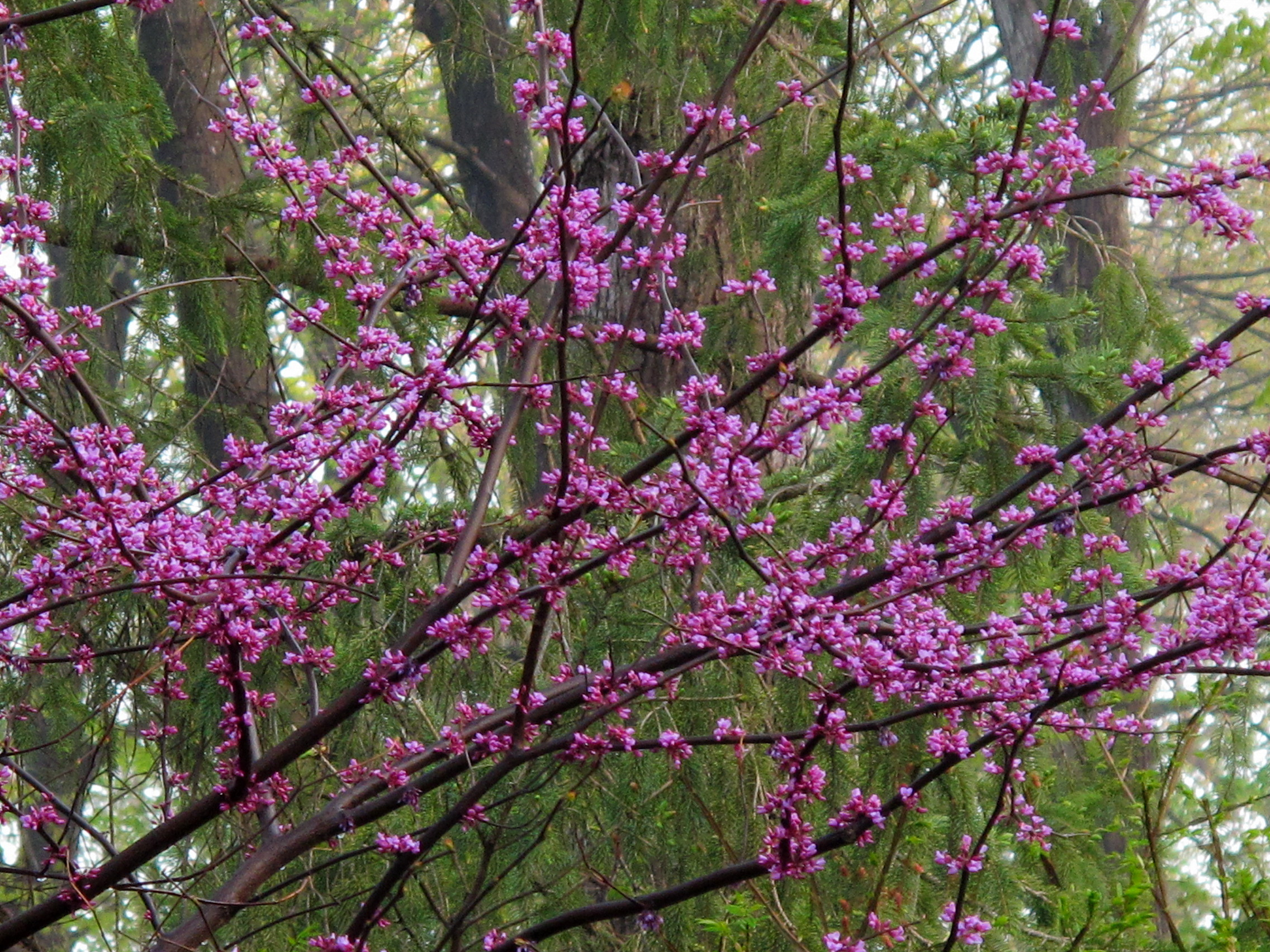 Flowering Trees Archives Knecht s Nurseries & Landscaping