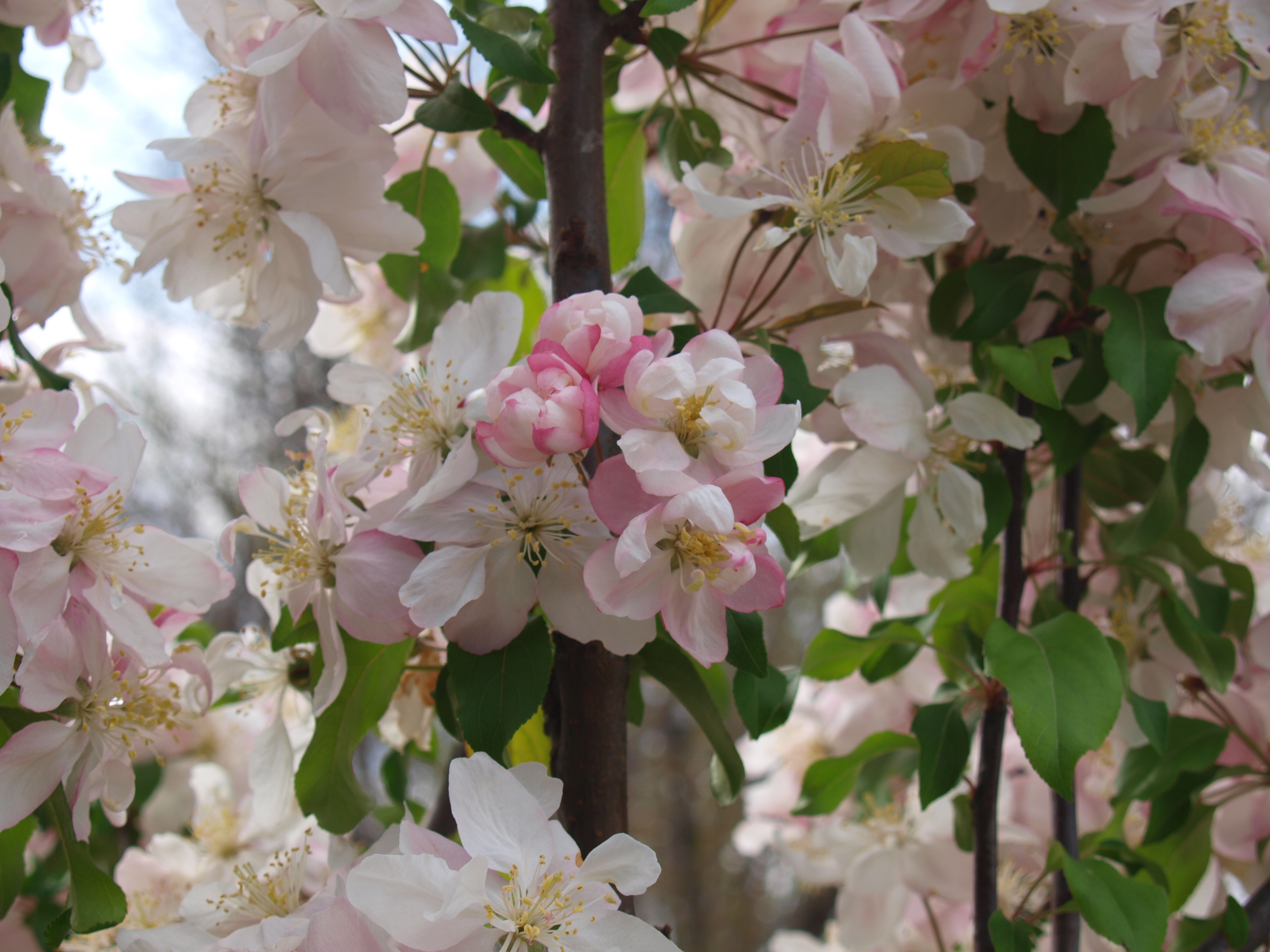 flowering crabapple trees archives knecht 39 s nurseries landscaping. Black Bedroom Furniture Sets. Home Design Ideas