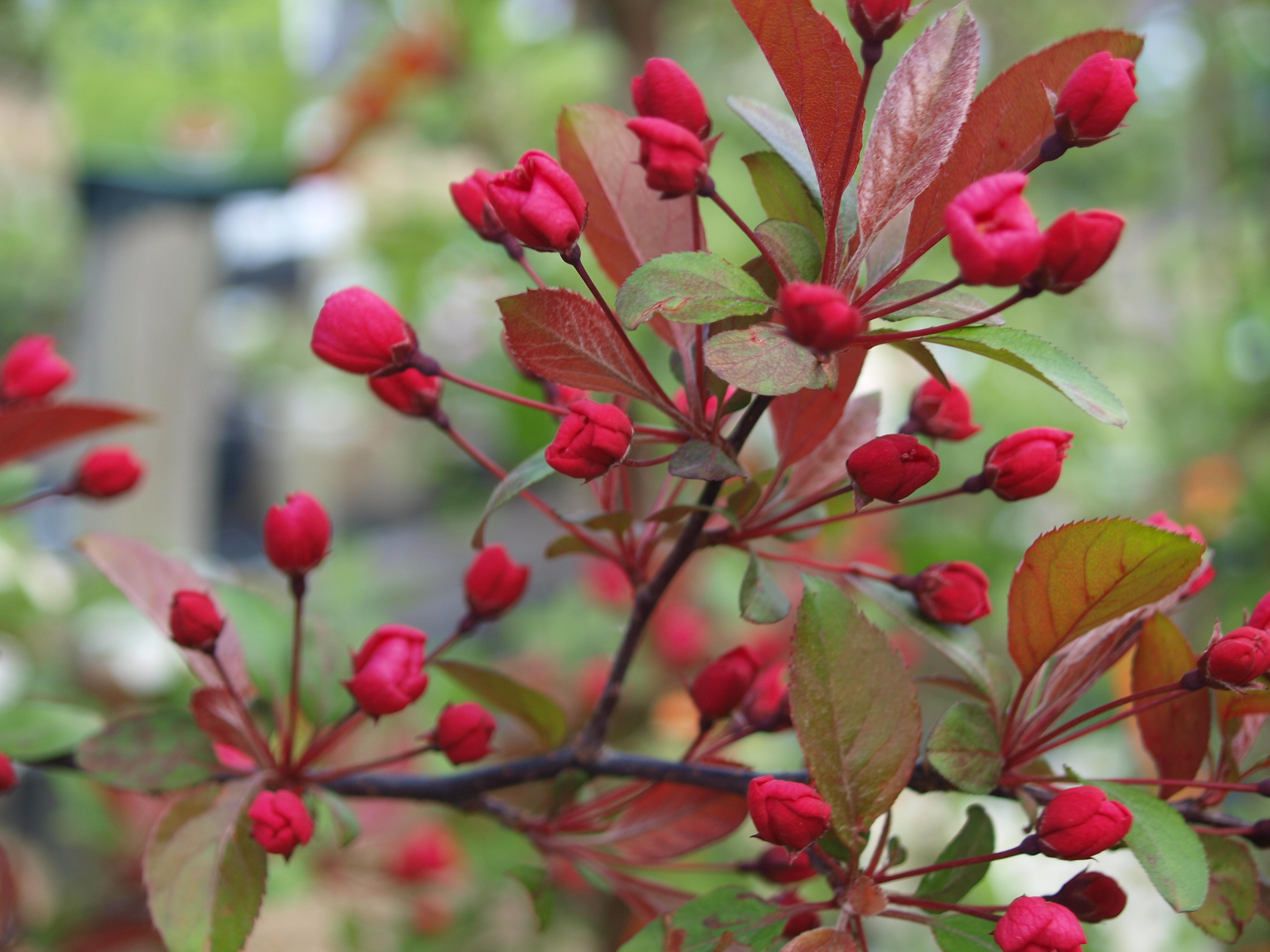 Crabapple tree varieties zone 7