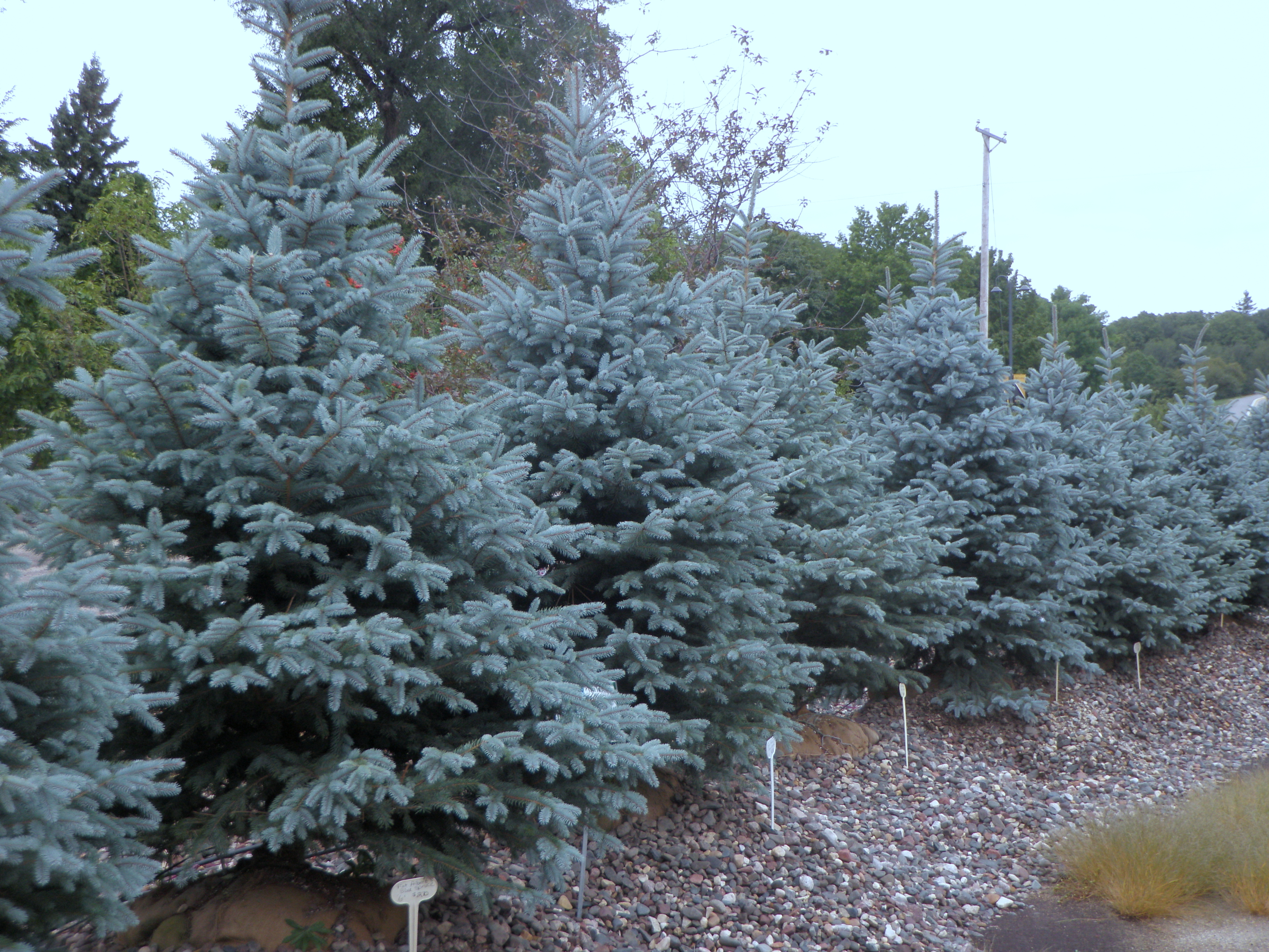 Blue evergreens archives knecht 39 s nurseries landscaping for The evergreen