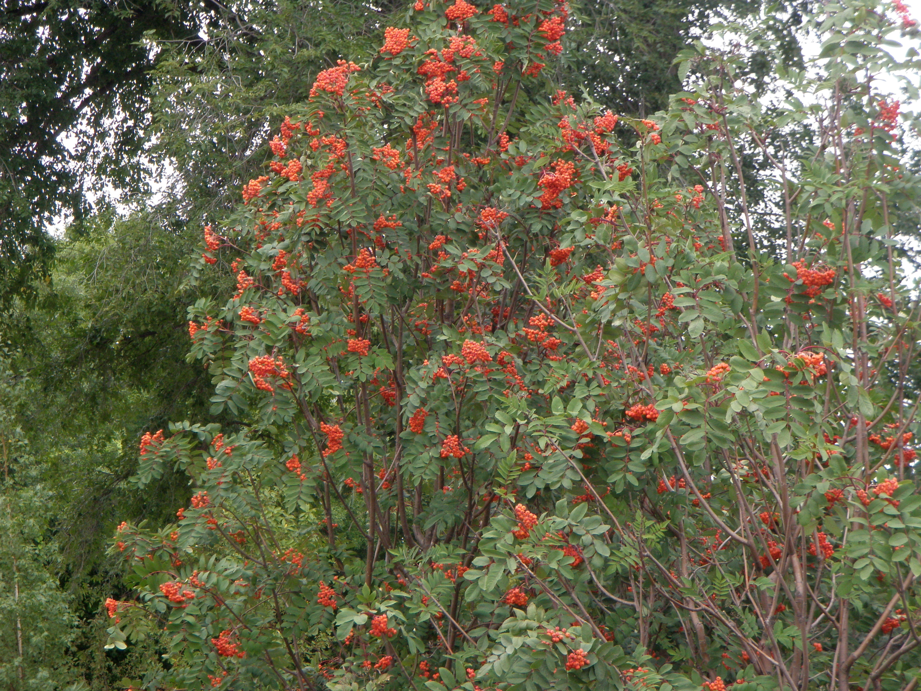 Cedar wax wings fall color showy mountain ash trees with berries