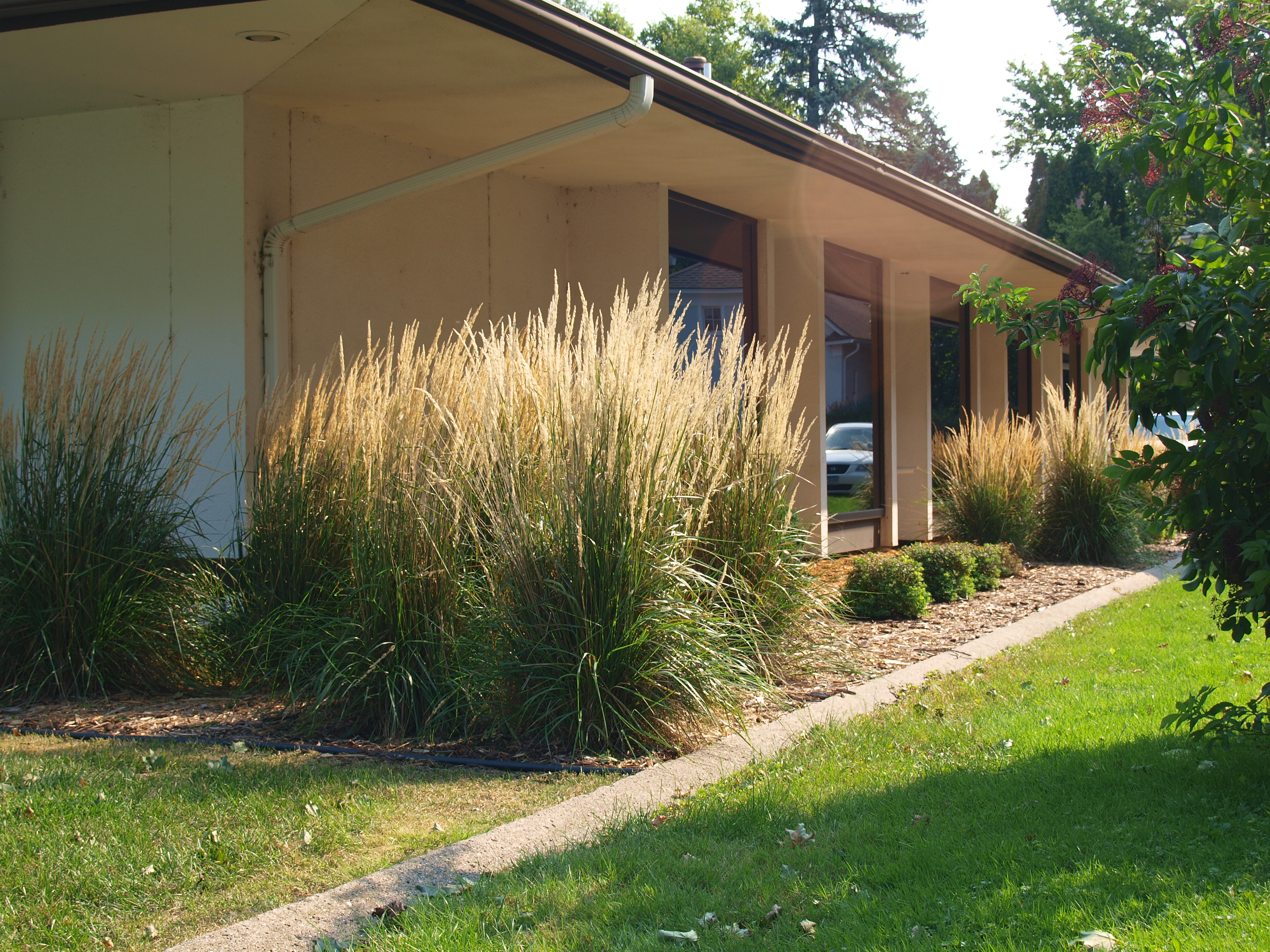 39 karl foerster 39 feather reedgrass knecht 39 s nurseries for Ornamental grass that looks like wheat