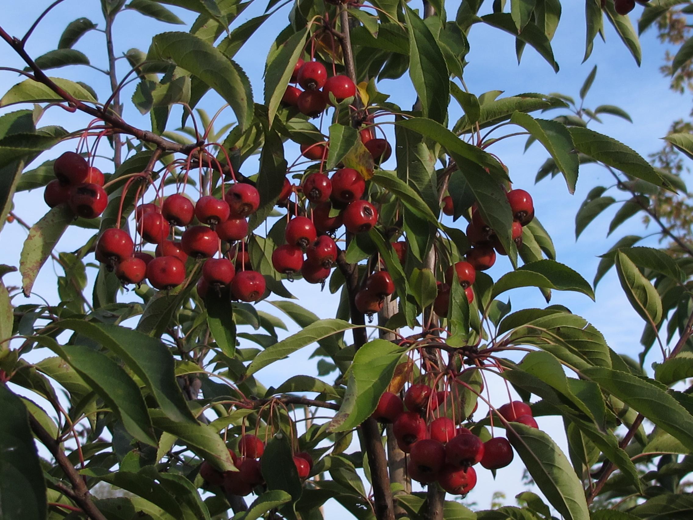 Sugar Tyme Flowering Crabapple Tree