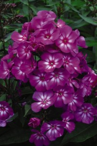 First Editions Grape Lollipop Phlox
