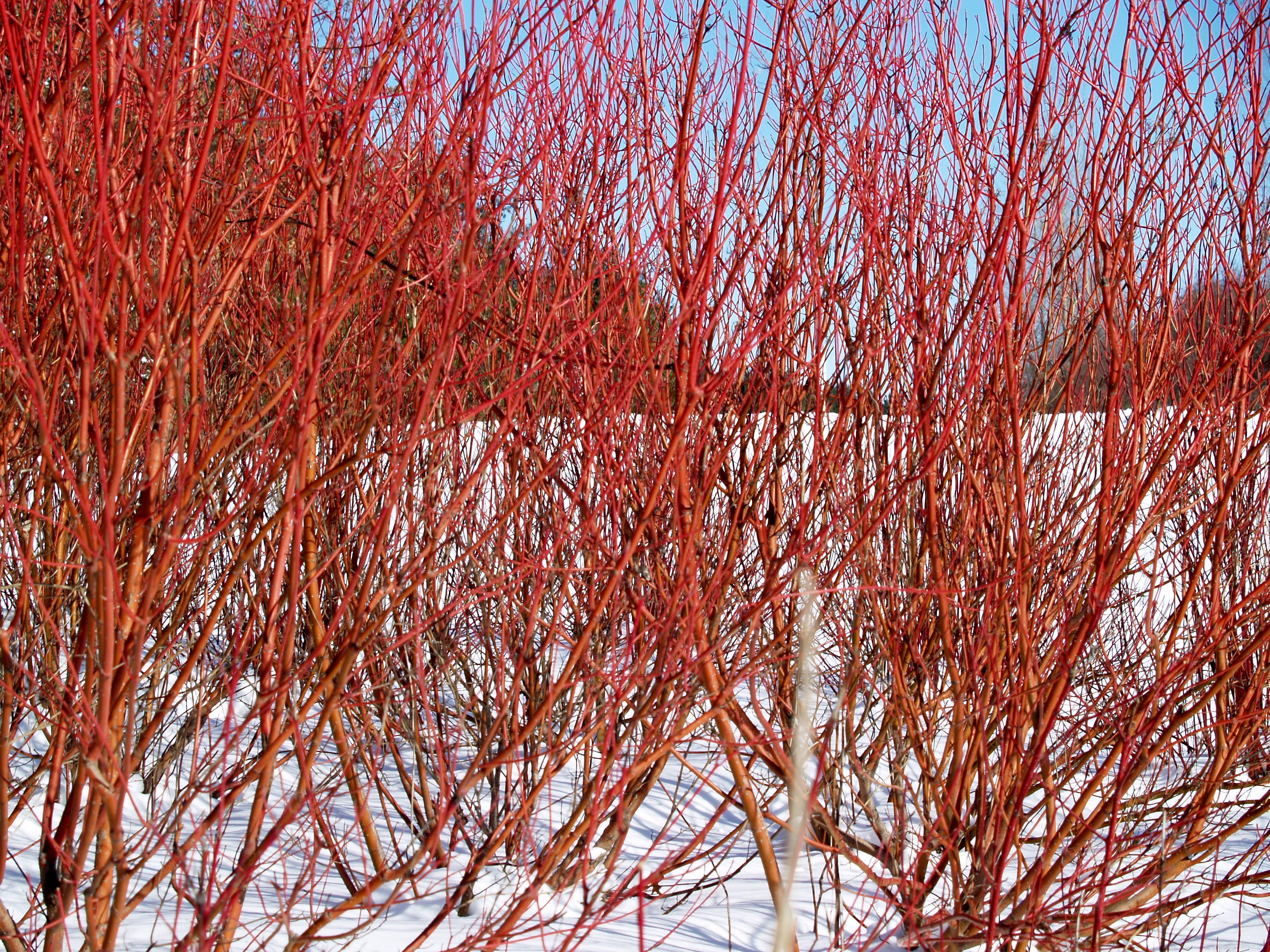 Red twig dogwoods knecht 39 s nurseries landscaping for Red twig dogwood