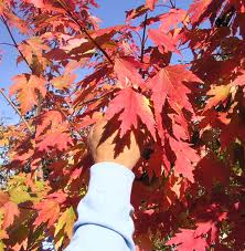 Fall color of the FIrefall Maple