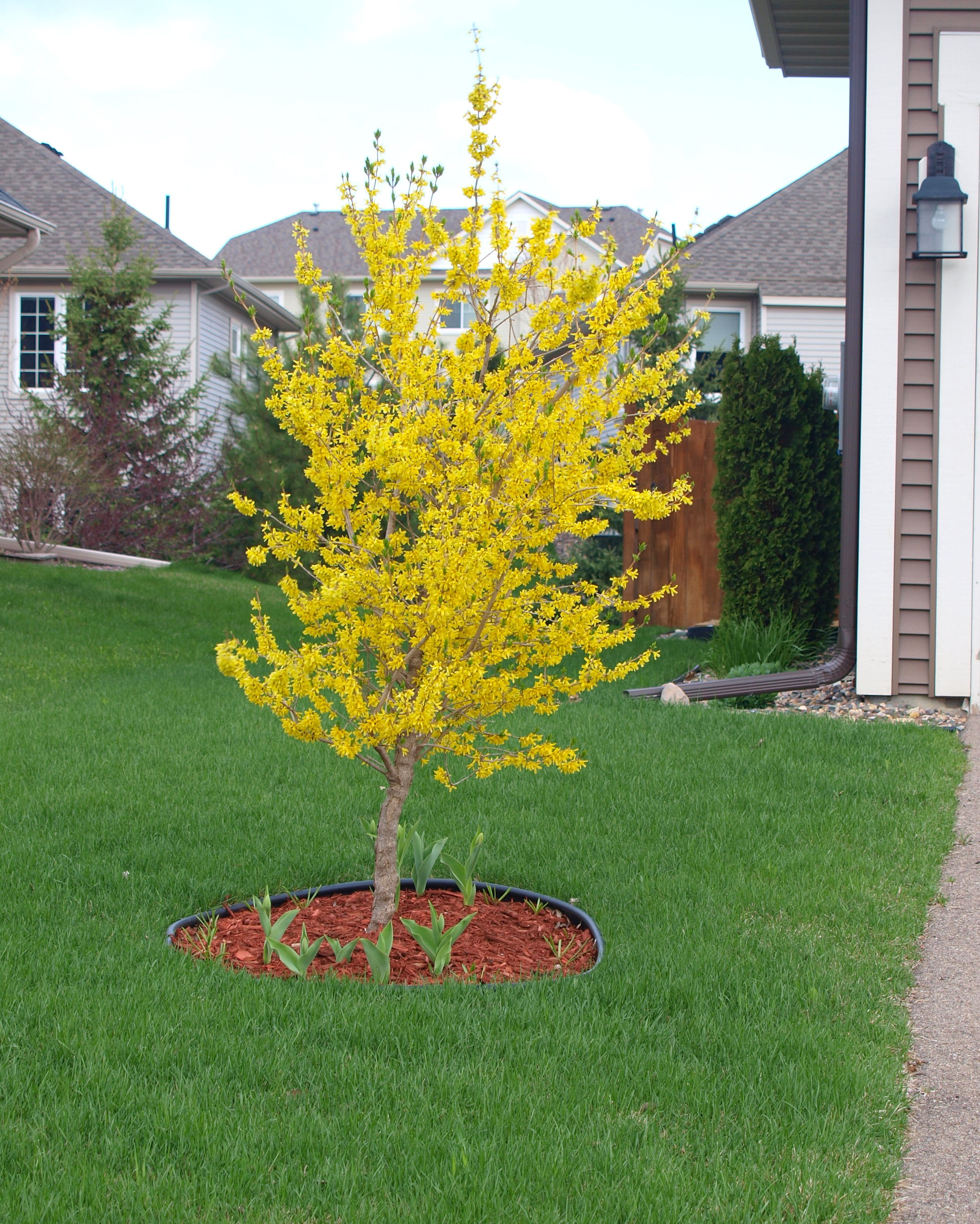 Forsythias in bloom knecht 39 s nurseries landscaping - Decorative small trees for landscaping ...