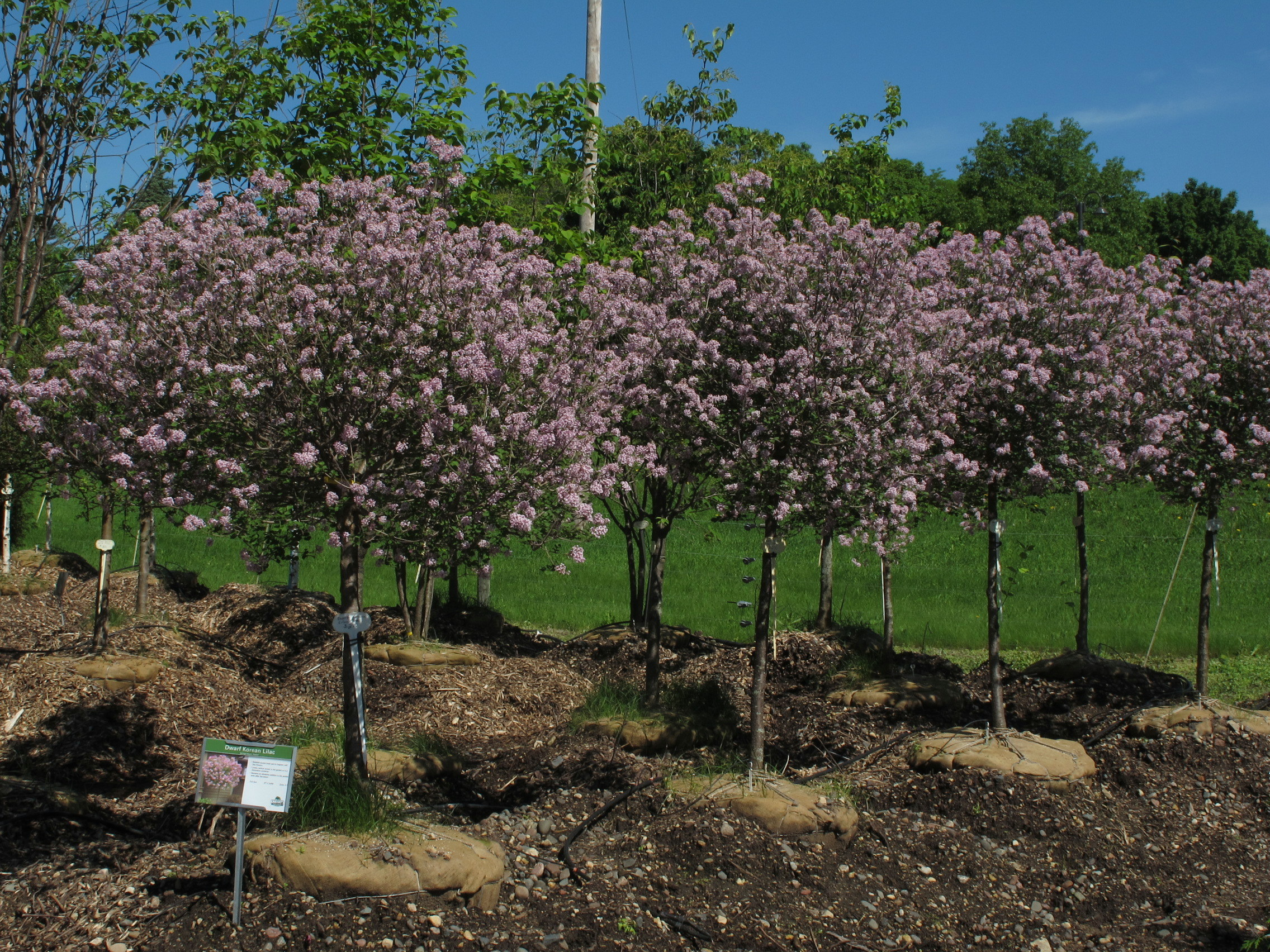 Dwarf trees for landscaping bing images for Flowering dwarf trees for landscaping