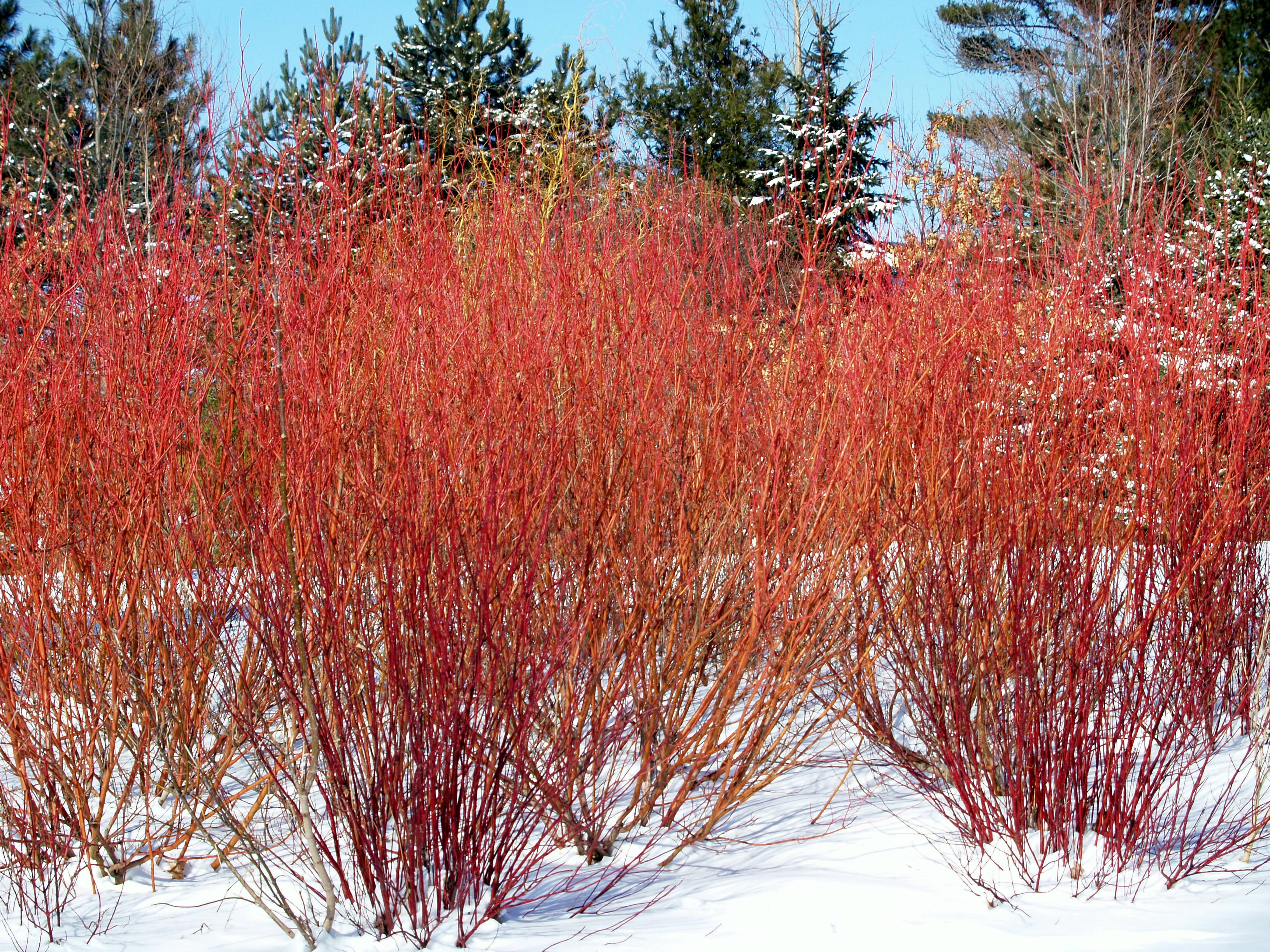 cardinal red twig dogwood archives knecht 39 s nurseries
