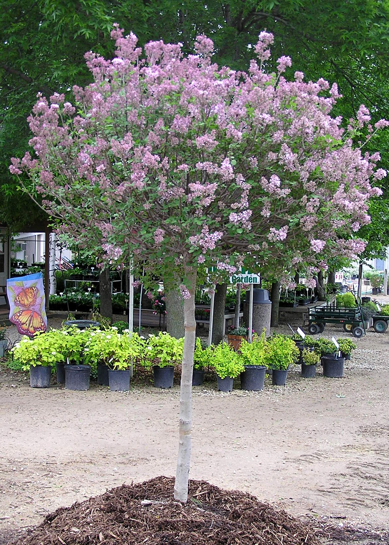 Image gallery lilac tree for Flowering dwarf trees for landscaping