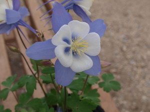 Blue Bird Columbine