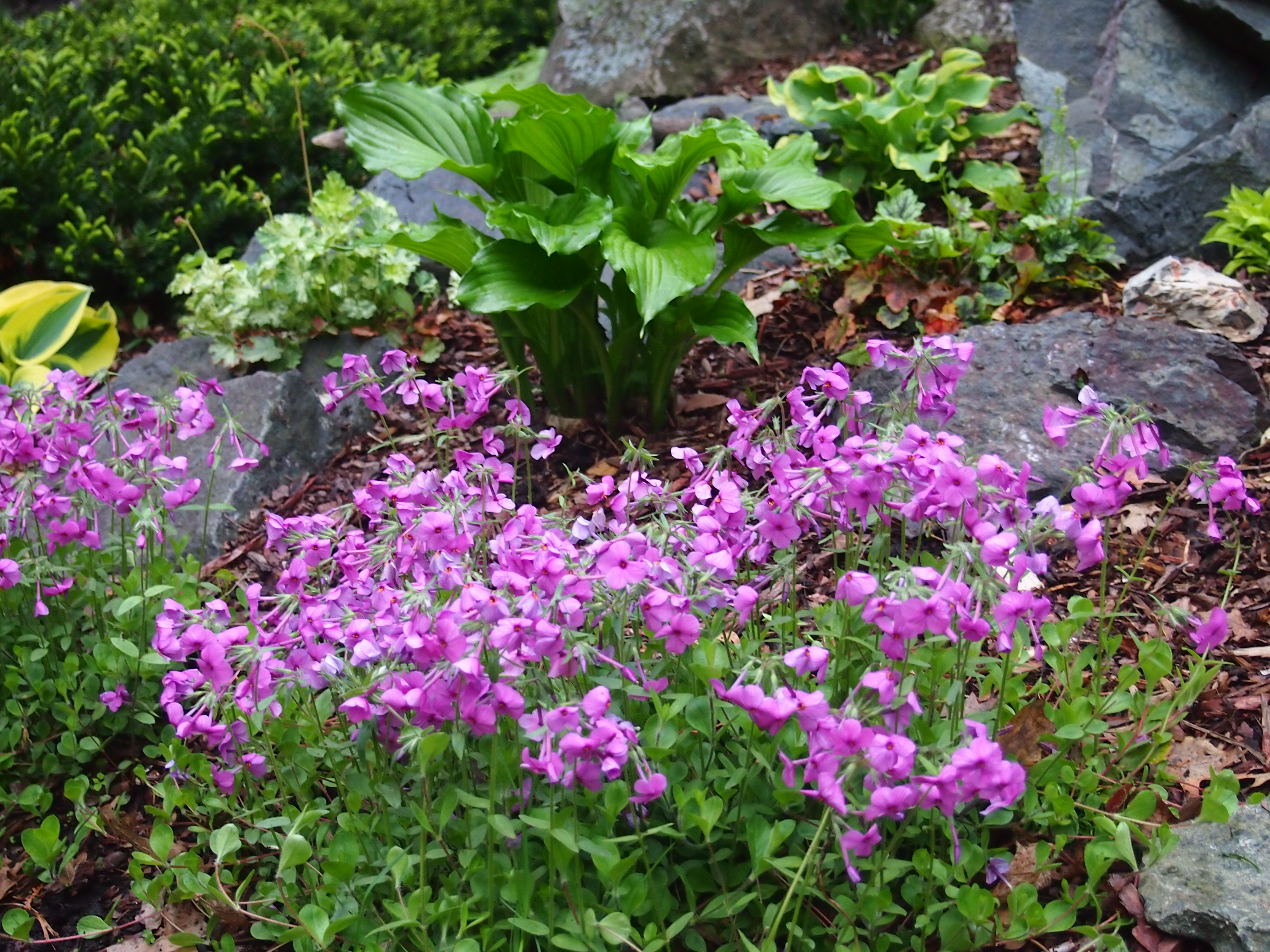 Creeping Phlox Archives - Knecht's Nurseries & Landscaping