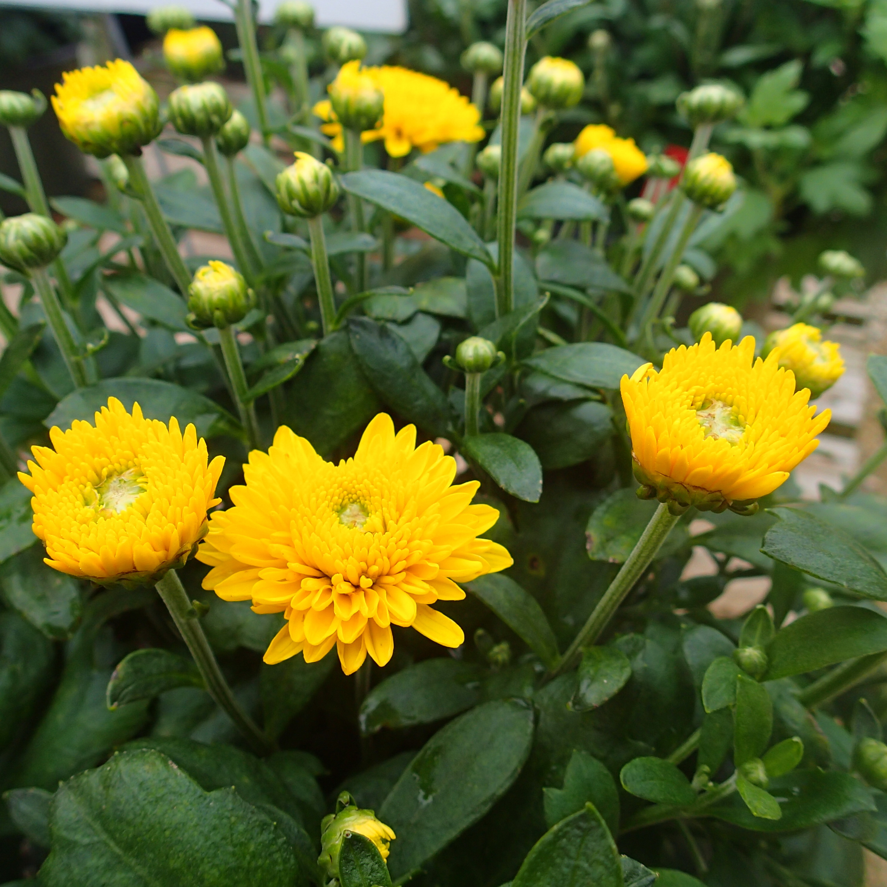 Fall Flower Mums: What's Doing The Blooming? Fall Blooming Mums!