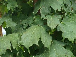 Apollo Sugar Maple