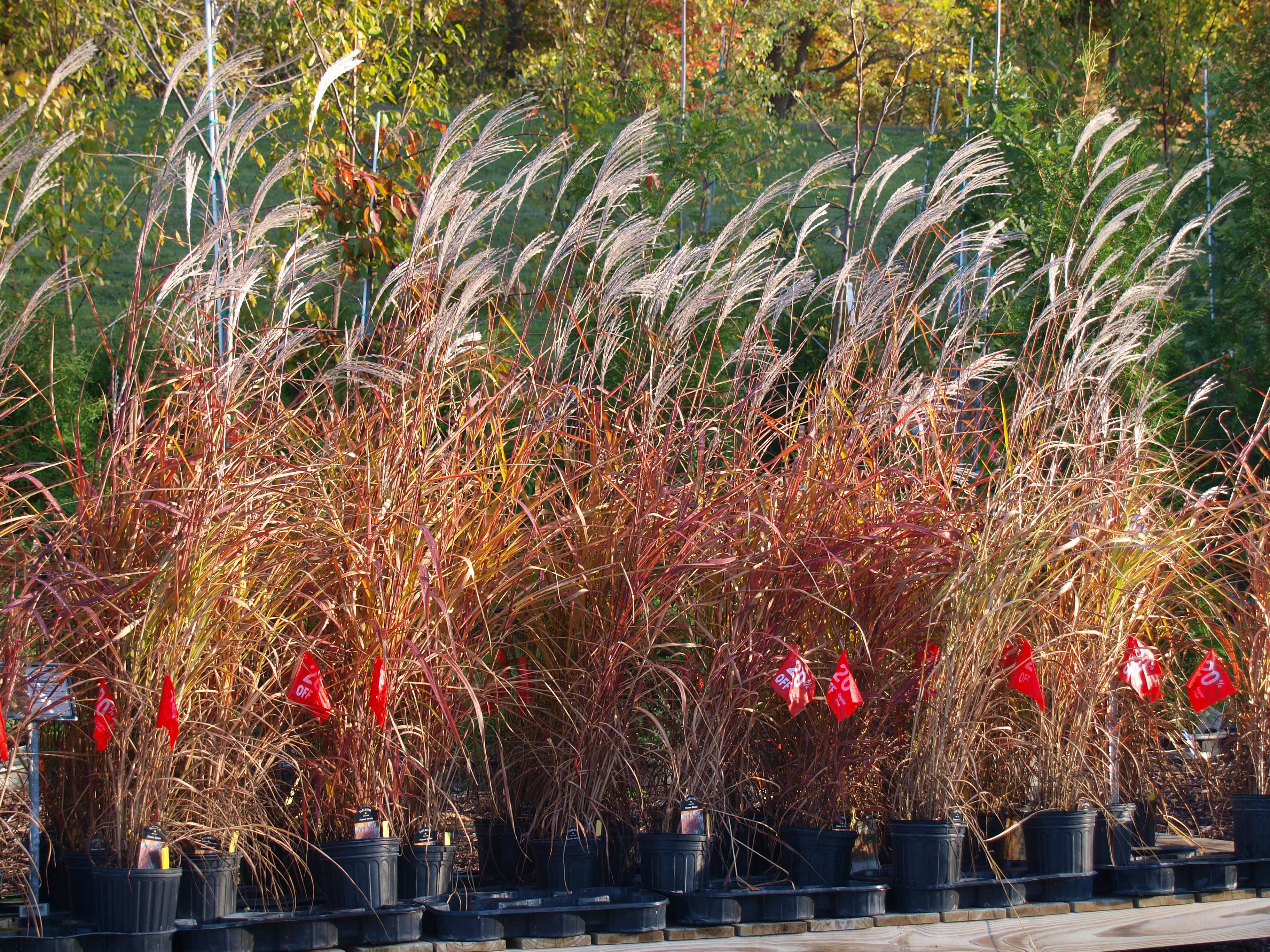 Ornamental grass knecht 39 s nurseries landscaping for Tall red grass