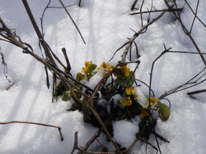 Image of flowers blooming through the snow