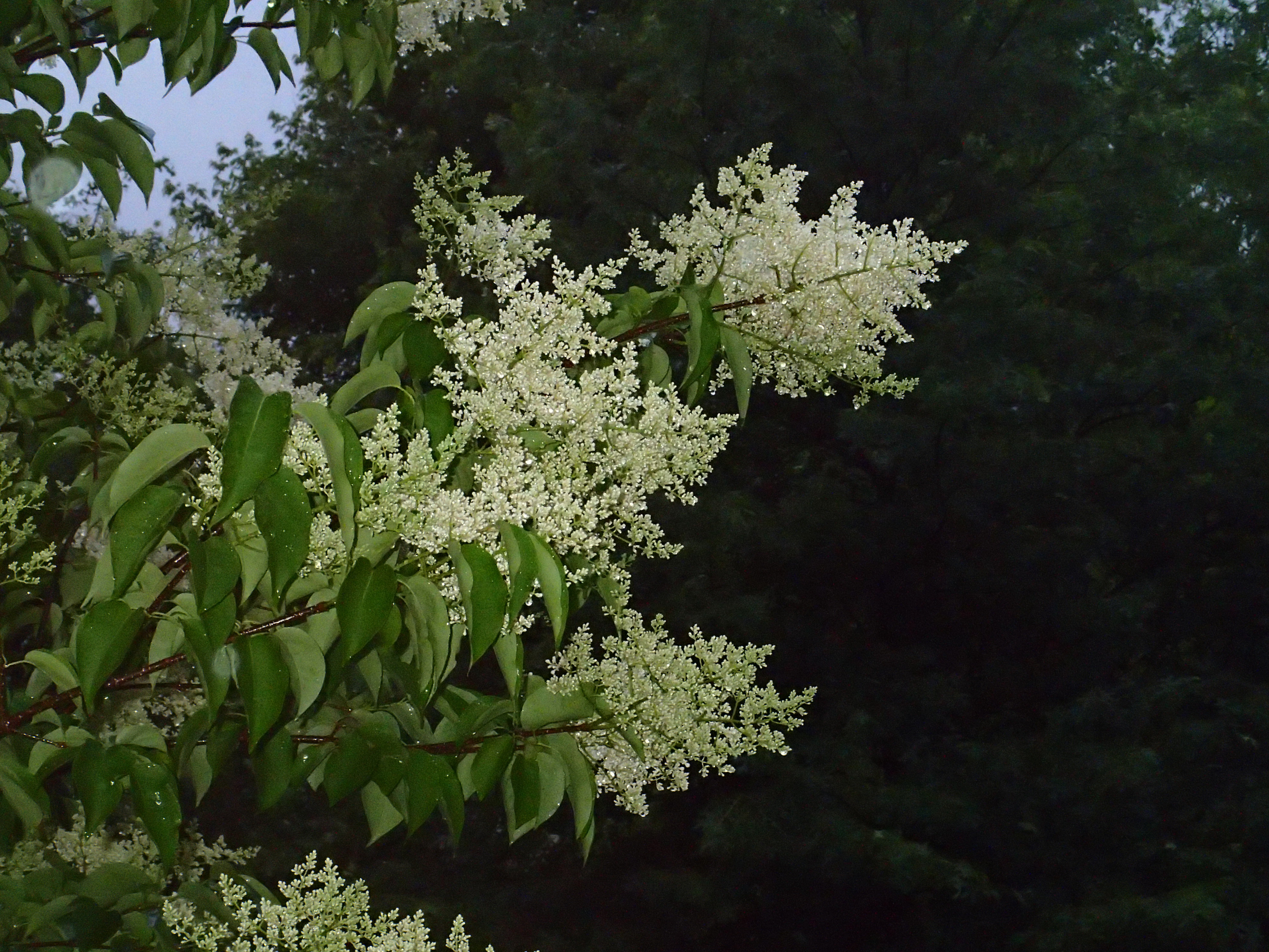 Japanese Tree Lilac Archives - Knecht's Nurseries ...