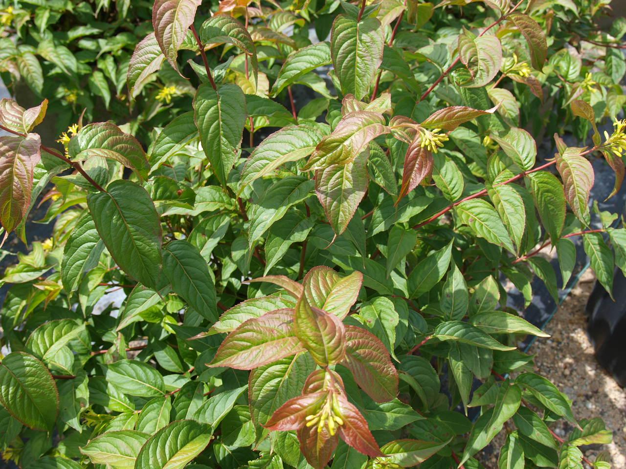 Landscaping With Honeysuckle : Dwarf bush honeysuckle knecht s nurseries landscaping