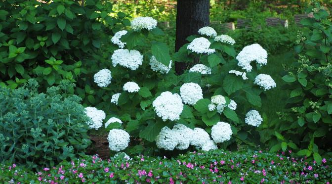 Flower Power with Hardy Hydrangeas