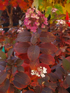 Quick Fire Hydrangea fall color
