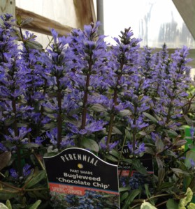 Ajuga ' Chocolate Chip'