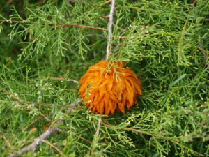 Fruiting bodies for Cedar Apple Rust