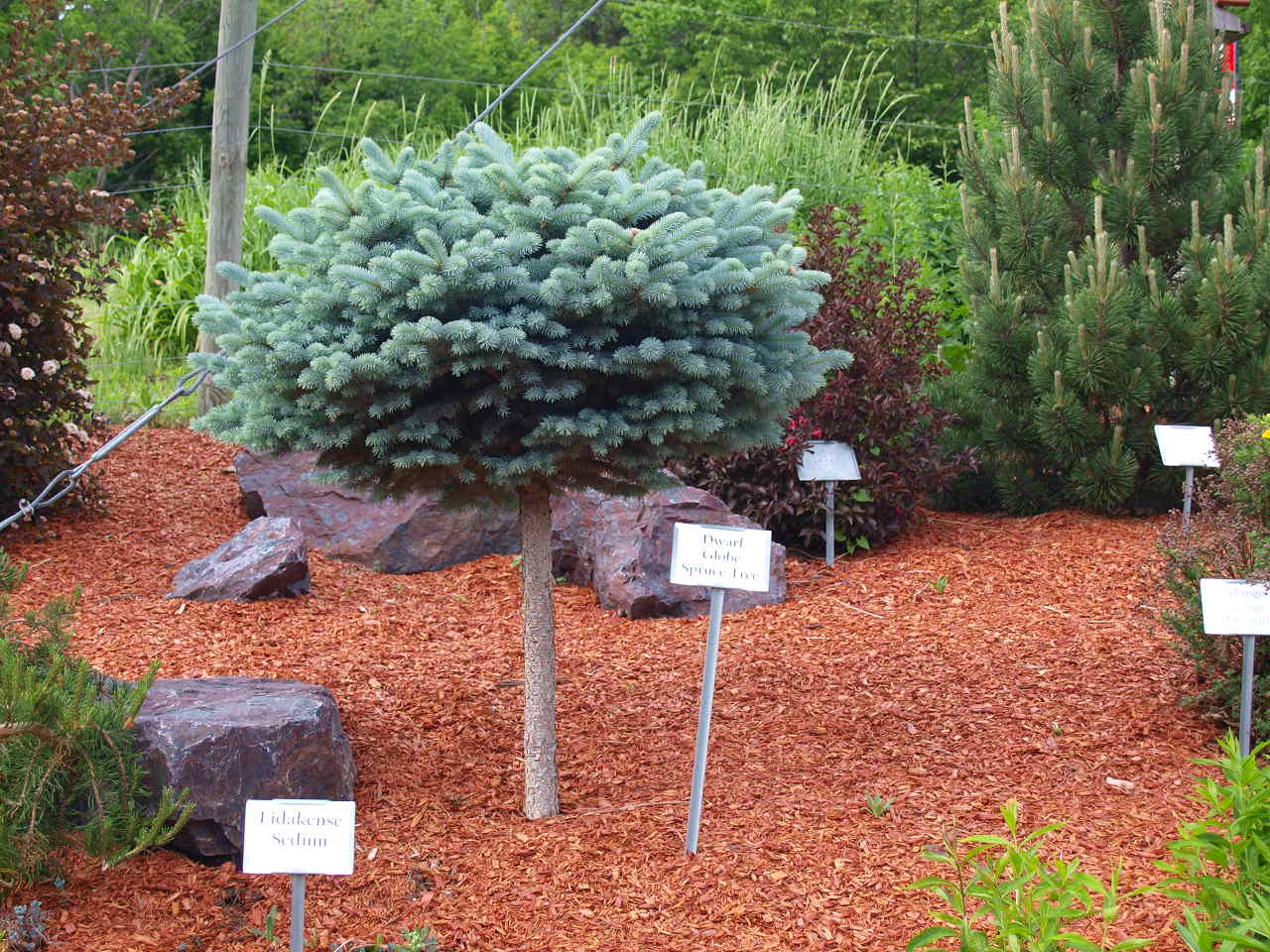 Pictures Of Landscaping With Spruce Trees 104