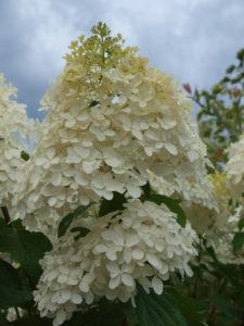 Phantom Hydrangea Blossom