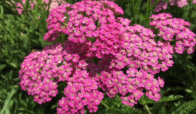 What's Doing the Blooming? Yarrow