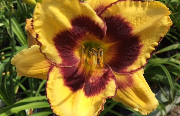 What's Doing the Blooming? Daylilies!