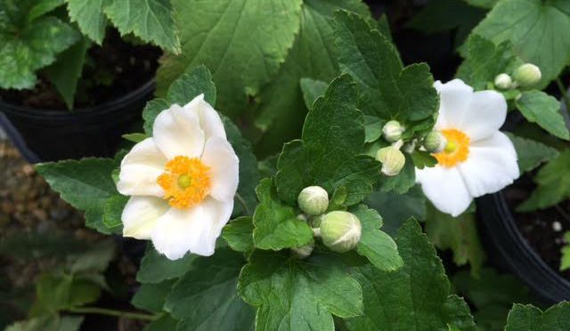 What's Doing the Blooming? Anemone 'Honorine Jobert'
