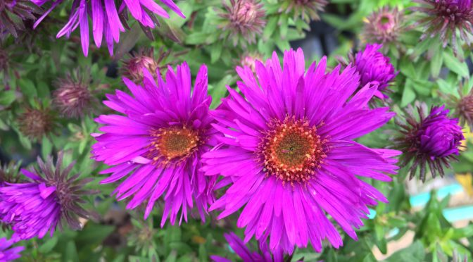 What's Doing the Blooming? Asters