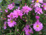 Aster divaricatus 'Wood's Pink'