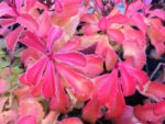 Groundcover Sedum fall color with October frost.