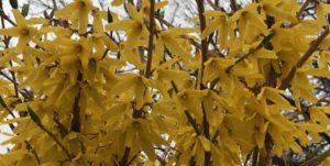 Forsythia, 'Northern Gold'