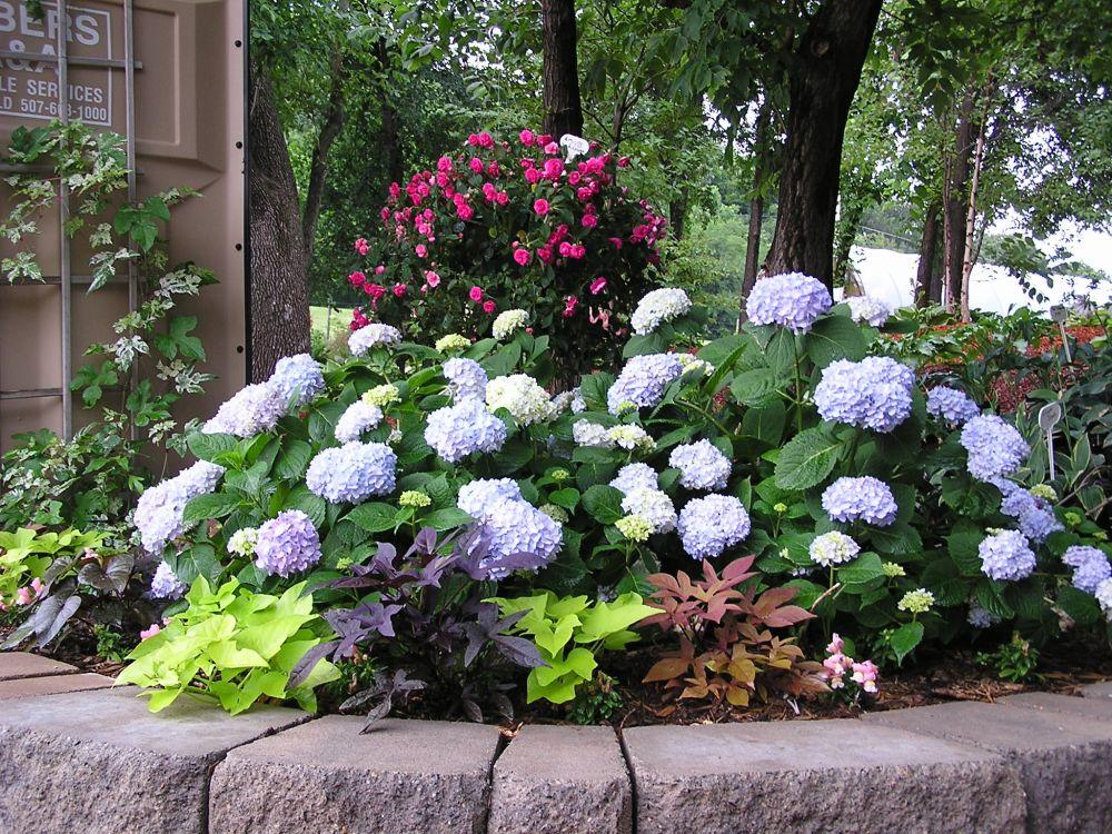 endless summer hydrangea and more knecht 39 s nurseries. Black Bedroom Furniture Sets. Home Design Ideas