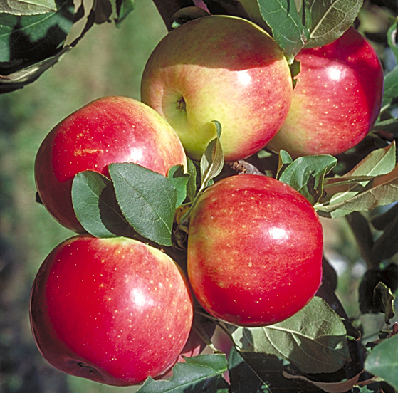 tree to grow in minnesota the zestar apple is an early maturing appleZestar Apple Tree
